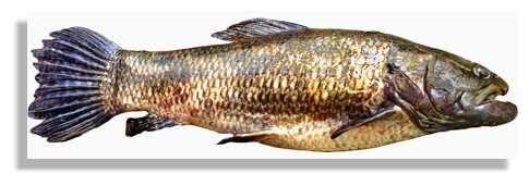 L'aimara, Hoplias aimara, le plus grand poisson prédateur des eaux douces de Guyane peut atteindre un poids de 30 kg. Il est activement pêché au pied du saut qui marque la limite amont de la retenue. © IRD/Bernard de Mérona.