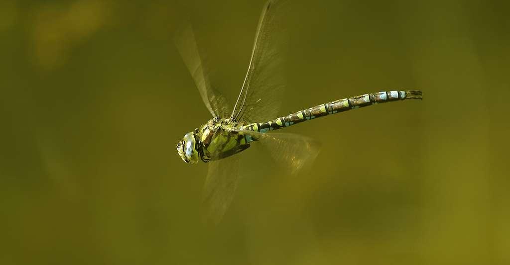 Aeshna cyanea. © Pjt56, Wikimedia commons, CC by-sa 3.0