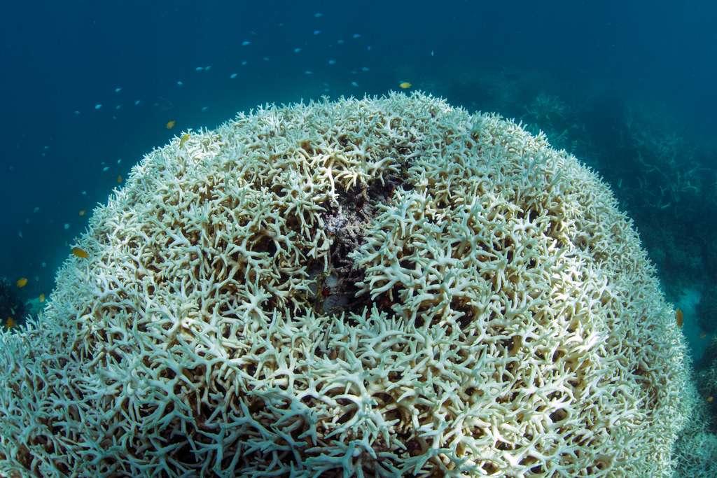 Corail blanchi en mars 2016 au sein de la Grande Barrière de corail, au large de l'île Lizard. © The Ocean Agency, XL Catlin Seaview Survey, Christophe Bailhache