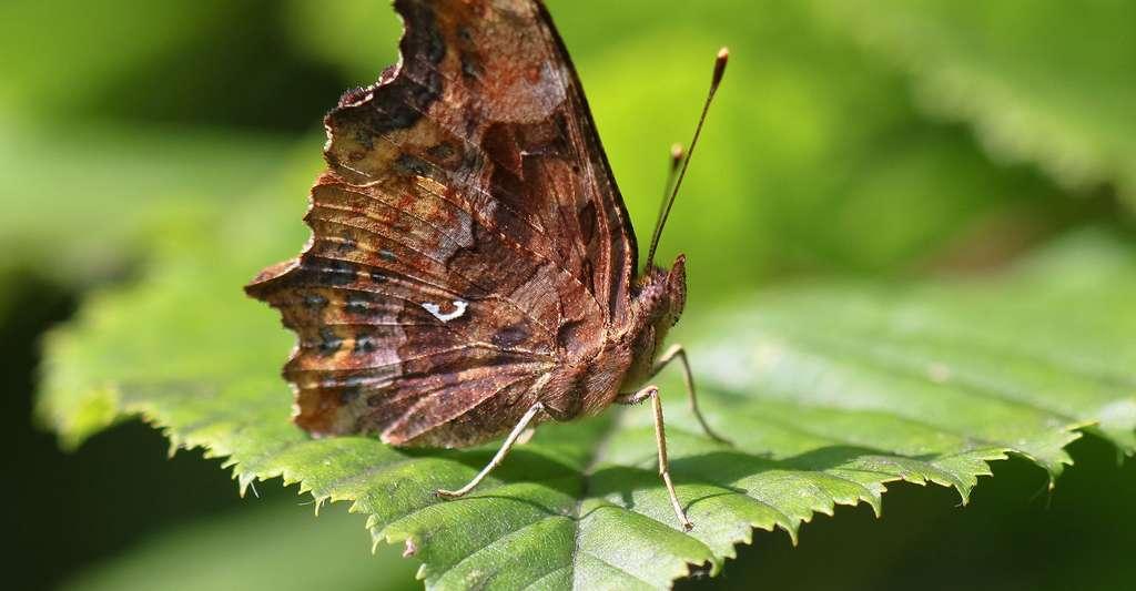 Papillon Robert-le-diable. © Mateusz Sciborski, Shutterstock