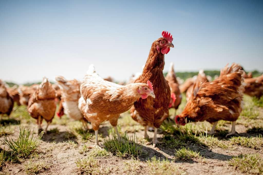 De nombreux virus de la grippe infectent les volailles, comme le virus H5N1, très virulent. © Teamfoto, Adobe Stock