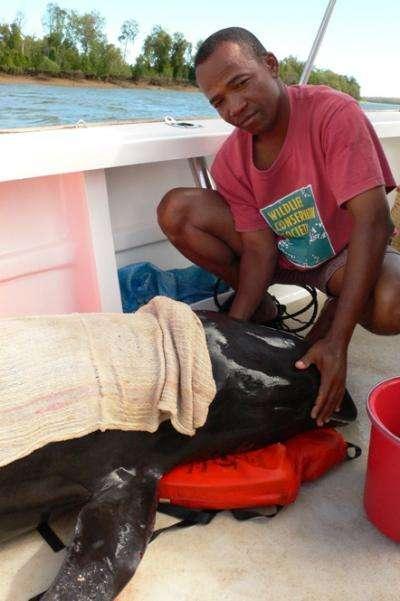 Les chercheurs de la Wildlife Conservation Society ont œuvré au sauvetage des dauphins échoués dans la lagune Loza, dans le nord-ouest de l'île de Madagascar. © T. Collins, Wildlife Conservation Society