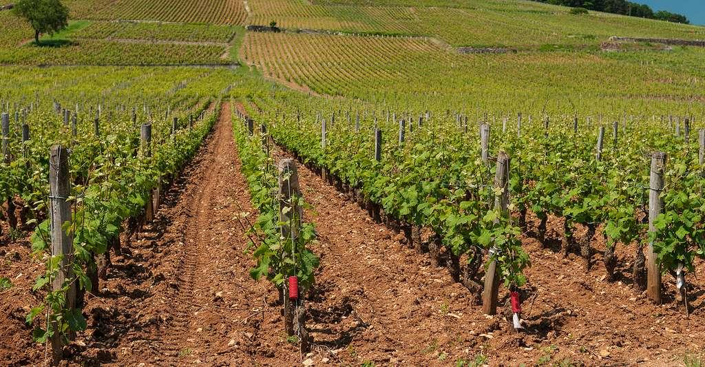 Vignoble du domaine La Romanée-Conti. © Michal Osmenda, Wikimedia commons, CC by 2.0