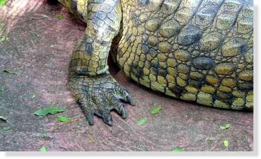 Patte arrière du crocodile du Nil © Photo Philippe Mespoulhé Reproduction interdite
