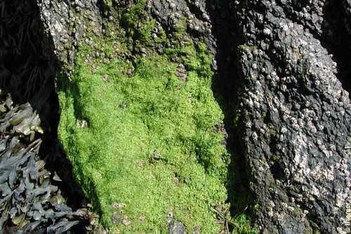 Algues vertes entéromorphes. © A. Le Maguéresse, Ifremer, tous droits de reproduction interdits