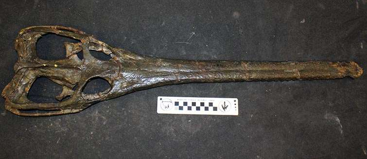 Le crâne d'un Steneosaurus leedsi (ici en photo) avait été retrouvé dans la même formation argileuse que le fossile de Lemmysuchus et les deux avaient d'abord été classés dans le même genre. Mais les différences sont trop nombreuses. Par exemple, le Steneosaurus leedsi, avec son museau très allongé et sa dentition plus fine, semble davantage adapté pour se nourrir de poissons plutôt que de coquillages. © NHM