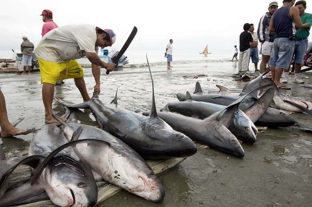 Des millions de requins sont tués par l'Homme chaque année. © Steven Surina tous droits réservés.