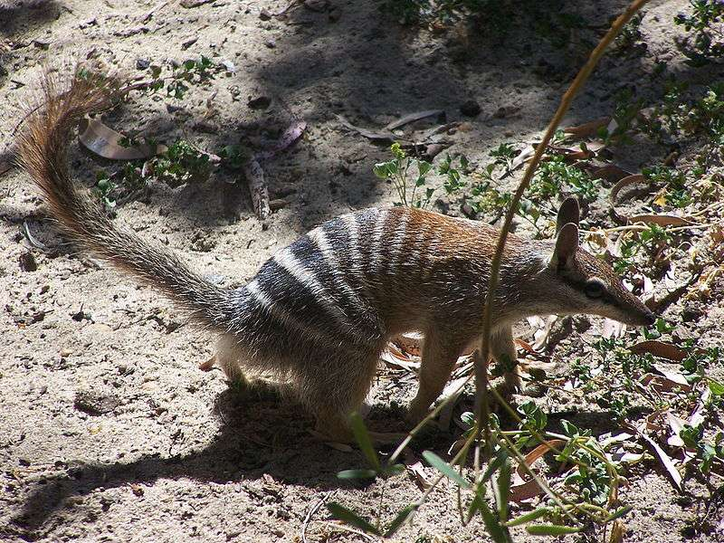 Numbat au zoo de Perth. © Gnangarra, Wikipédia, cc by 2.5