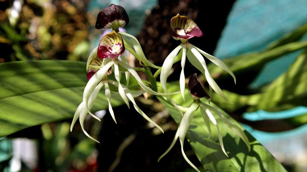 L'orchidée noire ou Anacheilium cochleatum, la fleur nationale du Belize