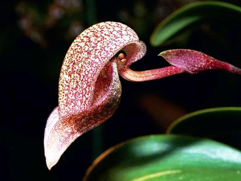 Orchidée Bulbophyllum cominsii
