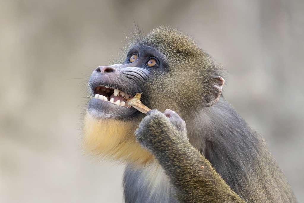Les mandrills ont une alimentation qui comprend de nombreux aliments durs. © EBFoto, Adobe Stock