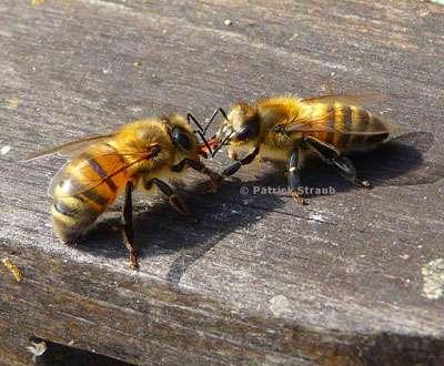 Les abeilles communiquent. © Tous droits réservés