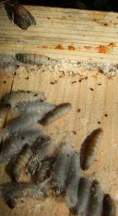 Photo de larves de teigne. © DR