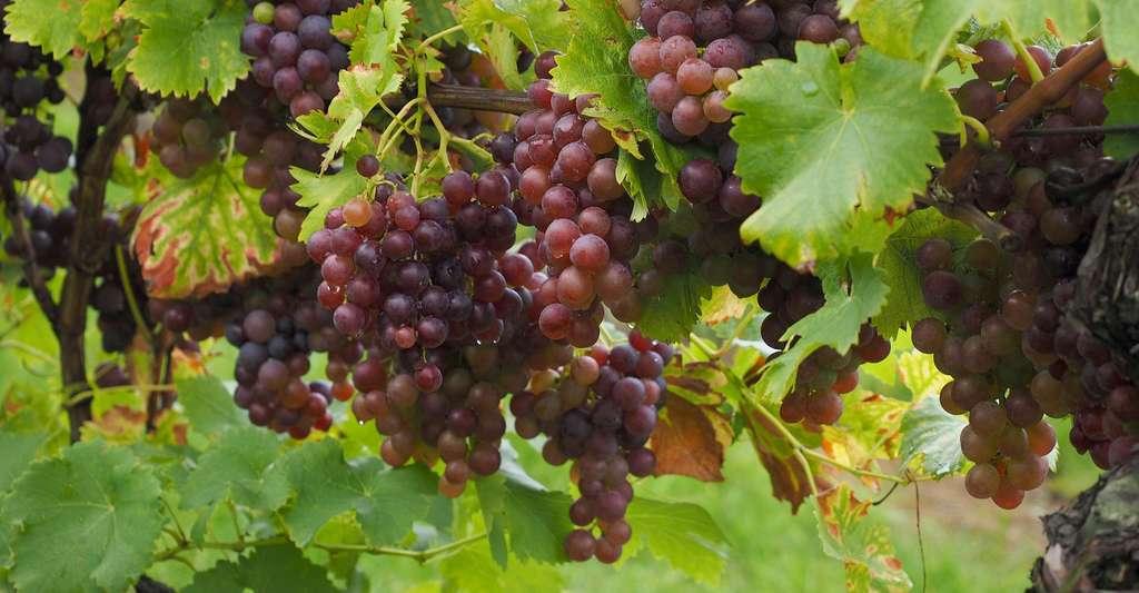 Découvrez le livre de l'auteur et créez votre verger. Ici, des grappes de raisin. © Hans, Pixabay, DP
