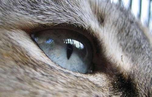 L'œil bleu cristal d'un chat. © Reproduction et utilisation interdites