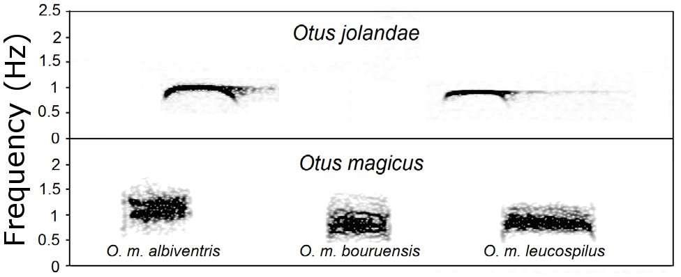 Le sonogramme d'Otus jolandae est comparé à celui de plusieurs sous-espèces de petits-ducs mystérieux Otus magicus. Ces oiseaux ont un plumage identique. Ils se différencient donc grâce à leur chant, ce qui se comprend en observant ces graphiques. © Sangster et al., 2013, Plos One