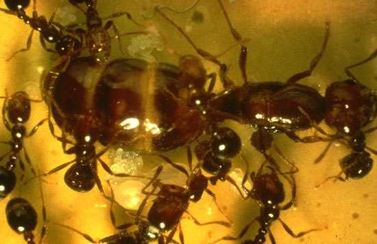 La reine et les ouvrières de la fourmi de feu Solenopsis invicta. © R.-K. Vander Meer