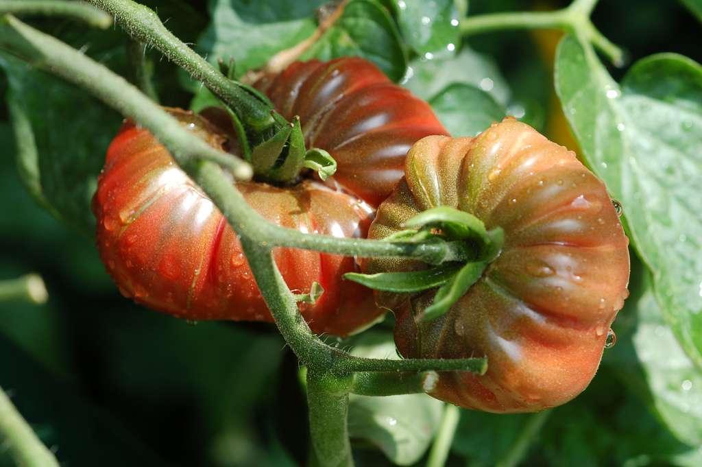 La tomate Purple Calabash est une variété ancienne, qui aurait été cultivée dès le XVIe siècle. © Enbodenumer, Flickr, CC by-nc-sa 2.0