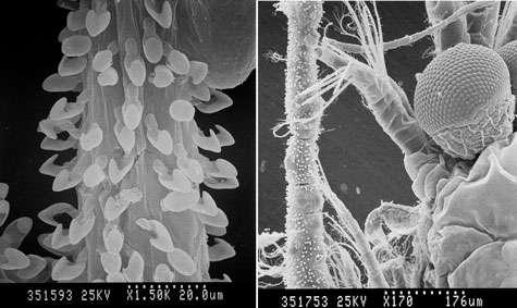 Des spicules en crochet couvrent les filaments de l'éponge. Les fins appendices des crustacés, ici une « crevette » mysidacé, s'y prennent comme dans du Velcro. © DR