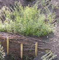 Le«barrage végétal» après installation des boutures... et reprise de la végétation © Photo Freddy Rey - Cemagref
