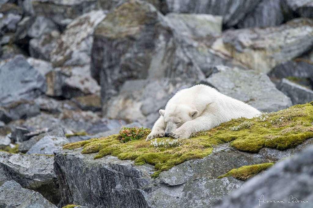 Ours polaire se reposant sur de la mousse aux pieds des falaises de nidification. © Florian Ledoux, tous droits réservés