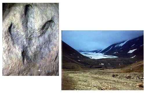 Les dinosaures ont habité les régions polaires au Mésozoïque, comme en témoigne par exemple cette empreinte de pas d'iguanodon, trouvée dans le Crétacé inférieur (environ 120 millions d'années) du Spitzberg (photo de gauche ; Musée du Svalbard, Longyearbyen). Le Spitzberg, qui est aujourd'hui une terre au climat très froid (photo de droite montrant le glacier de Longyear), se trouvait déjà à une haute latitude au Crétacé, mais les températures y étaient alors moins basses. Les dinosaures polaires n'en témoignent pas moins d'une aptitude à supporter des climats trop frais pour les reptiles d'aujourd'hui. © DR