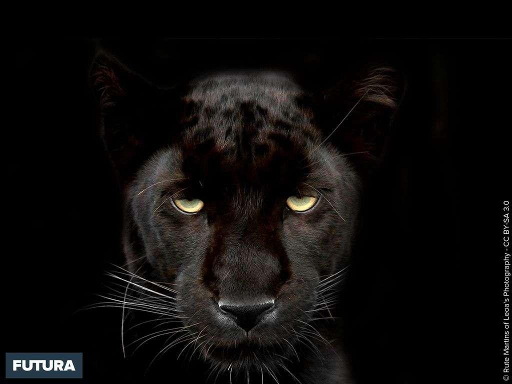 Panthère noire à l'affût