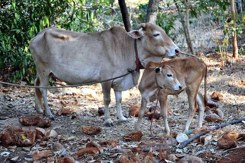 La vache Vechur, petite mais bonne laitière
