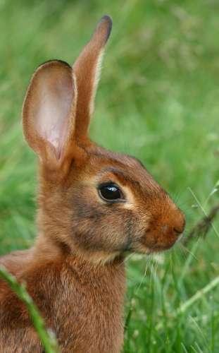 Dans la nature, le lapin doit se méfier des prédateurs. Son cerveau doit être en alerte et bien réagir. © MartheKryvi, Wikimedia Commons, cc by sa 3.0