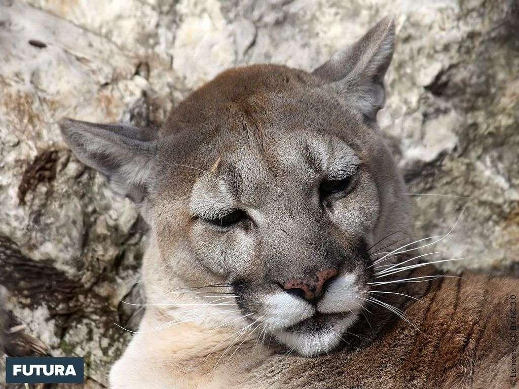 Cougar ou puma Puma concolor