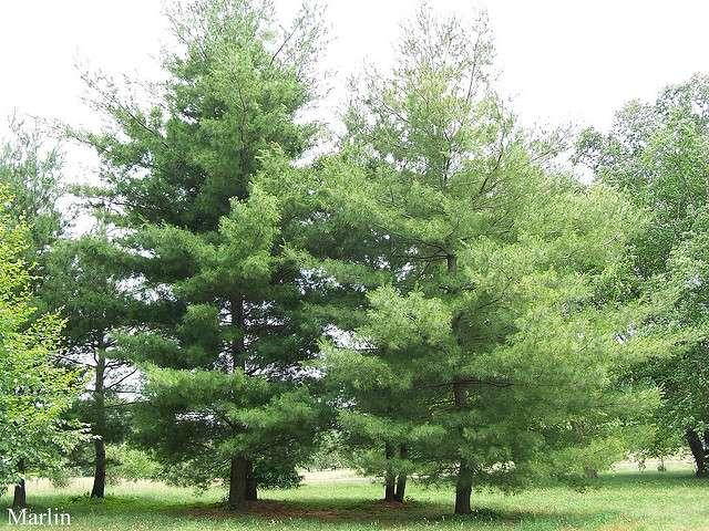 Pinus strobus. © Barbyr-Flickr CC by nc 2.0