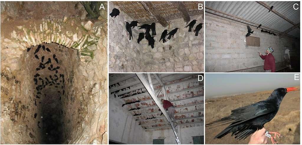 Les craves à bec rouge se regroupent la nuit dans des zones semi-closes qui peuvent être comparées aux environnements dans lesquels Néandertal chassait ces oiseaux. © Blanco et al., 2021