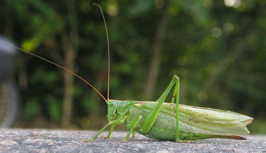 Les ailes des sauterelles se situent sur le côté du corps. © Monika Betley, Wikipédia, CC by-sa 3.0