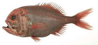 L'empereur, ou hoplostèthe orange, un poisson des grands fonds, vivant jusqu'à 2.000 mètres. En Nouvelle-Zélande, il est pêché depuis les années 1960. Son exploitation intensive en Atlantique a fait chuter les populations au point d'interdire sa capture depuis 2010. © Ifremer/P. Porcher