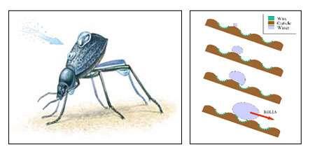Les bosselettes du scarabée peuvent servir d'inspiration pour la réalisation de puces microfluides. © DR