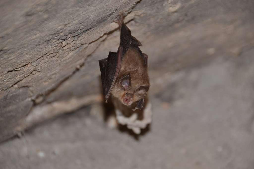 Les chauves-souris sont des mammifères insectivores en déclin en France. © Dominique Bidon, Fotolia