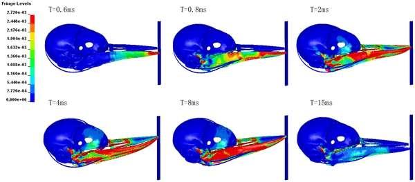 Ce schéma montre l'évolution des forces de pression exercées au cours du temps après l'impact dans le crâne de pivert. On constate que celles-ci s'exercent principalement sur le bec et au niveau de sa base. L'échelle de couleurs en haut à gauche indique l'intensité des pressions. © Wang et al., Plos One