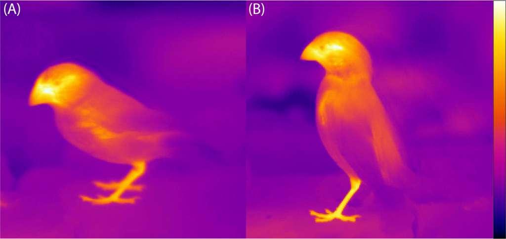 Le bec constitue l'une des parties du corps des oiseaux leur permettant de réguler leur température (échelle de couleur allant du noir, 15 °C, au blanc, 40 °C). Exemple de deux espèces de pinsons de Darwin (A, Geospiza fortis; B, Geospiza fuliginosa). © Tattersall et al., 2009