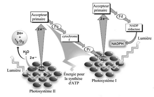 Schéma montrant les mouvements d'électrons durant la photosynthèse. Carolyn Lubner et son équipe ont remplacé la NADP réductase par une enzyme H2ase qui associe les électrons à des ions hydrogènes pour former de l'hydrogène moléculaire. © Adapté de Cocks & Frans (2004)