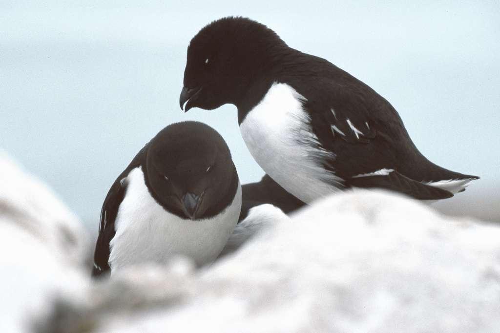 Couple de mergules nains. © Michael Haferkamp, GNU FDL Version 1.2