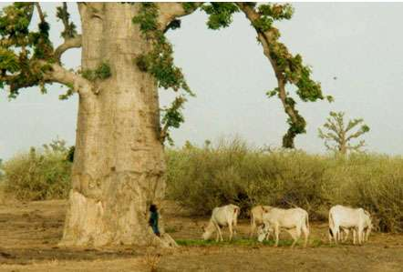 Les branches et feuilles tombées à terre sont directement broutées par le bétail (Sénégal). © S. Garnaud - Reproduction et utilisation interdites