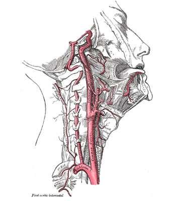 Observation des artères du côté droit. A droite, l'artère carotide se divise en artère carotide externe (allant vers le visage) et en artère carotide interne (allant vers le cerveau). Sur la gauche, l'artère vertébrale qui passe à l'intérieur des vertèbres génère l'artère basilaire. Source : Gray's anatomy, téléchargé depuis Wikimedia Commons, domaine public.