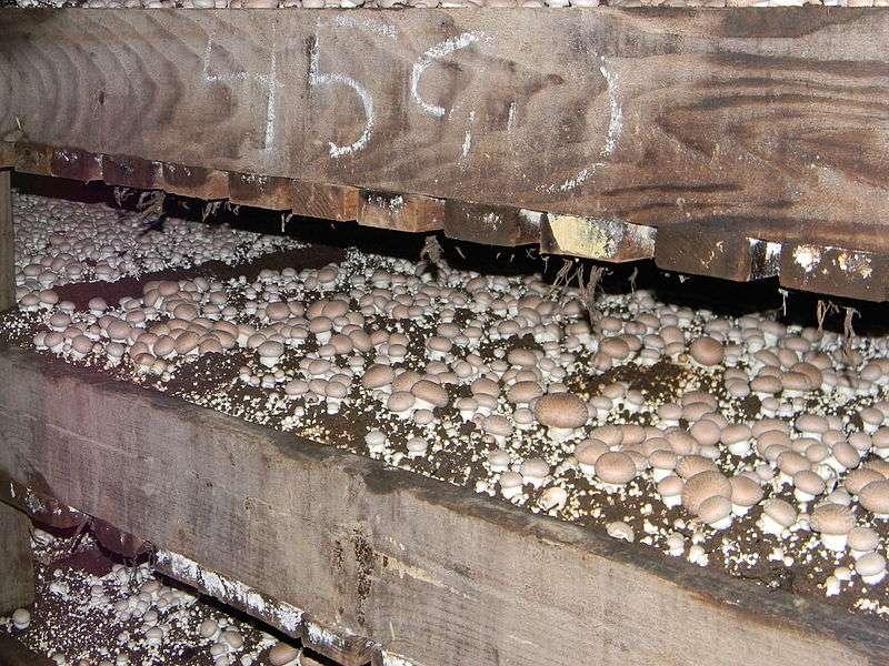 Les champignons de Paris sont cultivés dans des caves ou à l'intérieur d'anciennes carrières souterraines. Leur environnement doit être aéré, mais maintenu à une température constante. © I.G. Safonov, Wikimedia common, CC by-sa 3.0