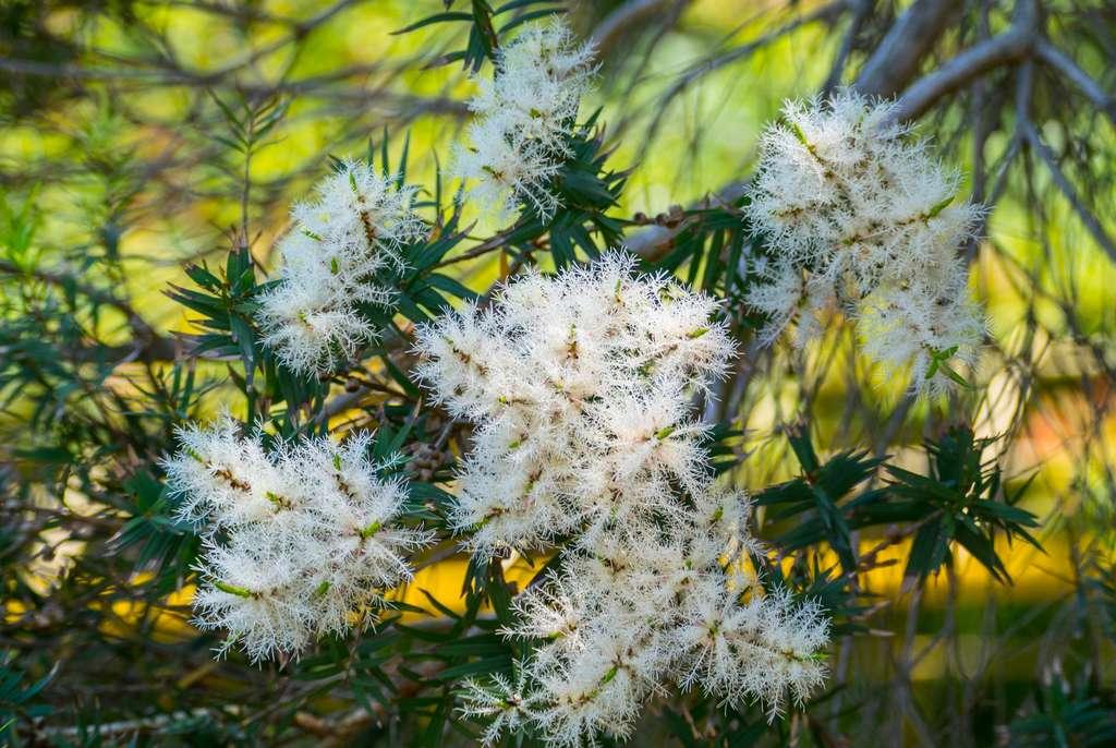 Les petites fleurs blanches en panache de l'arbre à thé ont une odeur fraîche et puissante qui peut être incommodante. © Mitsuyoshi, Fotolia