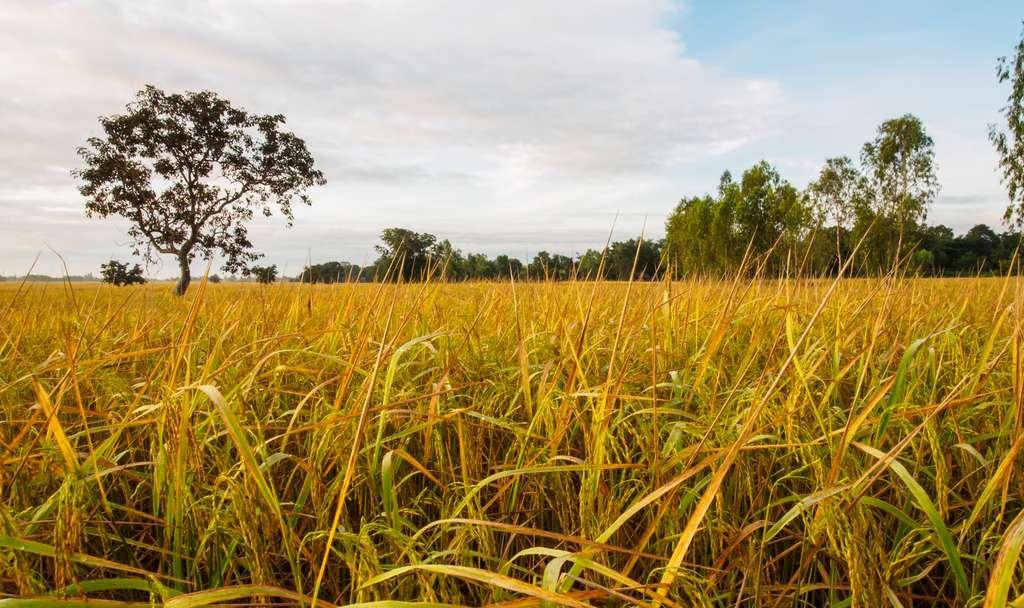 Riz hybride, riz OGM : de quoi s'agit-il ? © dokmaihaeng, Fotolia