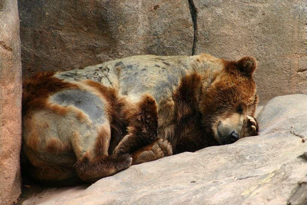 L'ours est souvent considéré à tort comme un animal hibernant. Il arrive à fortement diminuer son rythme cardiaque, mais sa température reste relativement stable. On dit plutôt qu'il hiverne. © rhlinuxguy, Flickr, cc by nc nd 2.0
