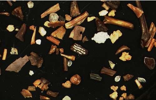 Résultat du tamisage de sédiments des Kem Kem. On distingue des fragments d'os et des petites dents. © André Piuz