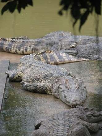 Ferme à crocodiles. Une idée novatrice émise par Olivier Behra : construire des ranchs à crocodiles. © Christophk2003, Flickr, CC by-sa 2.0
