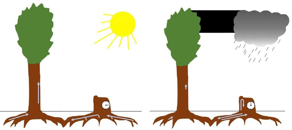 Durant la journée, où les arbres vivants sont occupés à pomper les ressources grâce à la transpiration, la souche est inerte. La nuit et les jours de pluie, lorsque les arbres vivants se « reposent », elle pompe la sève grâce à ses racines greffées sur celles des arbres autour. © C.D, d'après Sebastian Leuzinger/iScience