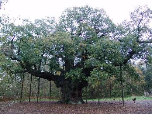 Dans la forêt de Sherwood, en Angleterre, ce chêne pédonculé aurait entre 800 et 1.000 ans. © Galli, Wikimedia Commons, DP